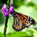Monarch Butterfly on a Rabbia Zorro flower